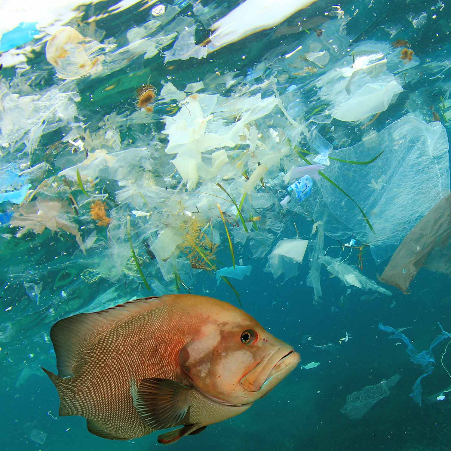 Image of fish swimming with plastic in water